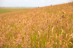 Field of tall grass on a hill Stock Images