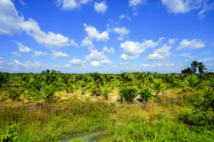 Field of tall grass surrounded by coconut trees with beautiful b Stock Image