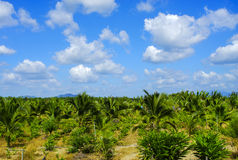 Field of tall grass surrounded by coconut trees with beautiful b Royalty Free Stock Images