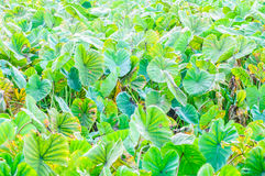 Field of taro plants. (green leaves Stock Images