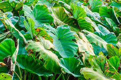 A field of taro plants (green leaves). Agriculture in thailand stock photos