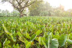 A field of taro plants growing. A field of taro plants growing in Thailand royalty free stock photo