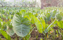 A field of taro plants growing. A field of taro plants growing in Thailand stock photography