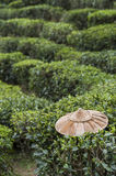 Field of tea plant. Foreground is bamboo farmer hat royalty free stock image