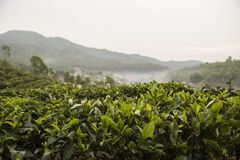 Field of tea plant. With mountain background Royalty Free Stock Photo
