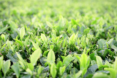 Field of tea plantation Stock Photography
