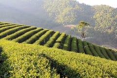 Field of tea plantation. Beautiful pattern of bright, green tea on the hill Royalty Free Stock Photo