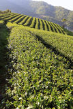 Field of tea plantation. Beautiful pattern of bright, green tea on the hill Royalty Free Stock Photos