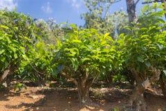 Field of Tea plantation in Sri Lanka. Royalty Free Stock Photo