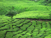 Field of Tea Trees Stock Image