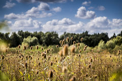 Field of teasels on sunny day Royalty Free Stock Photography