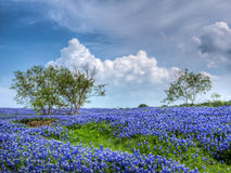 Field of Texas Bluebonnets. Large field of Texas Bluebonnets and mesquite trees with blue sky and light fluffy clouds stock image