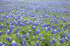 A field of Texas Bluebonnets Stock Image