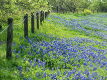 Field of Texas bluebonnets. And yellow wildflowers blooming along a fence in the spring meadow Stock Image