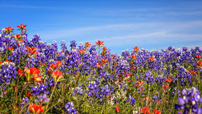 Field of Texas Spring Wildflowers - bluebonnets and indian paint Stock Images