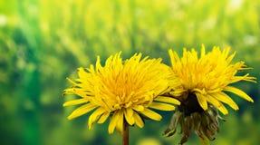 Field Thistle хавроньи, arvensis Sonchus, thistle молока поля, sowthistle поля, постоянный хаврон-thistle, thistle хавроньи мозол Стоковое Фото