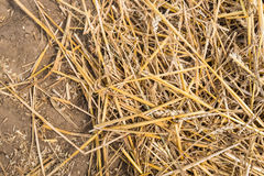 Field after the threshing of the wheat from close Stock Images