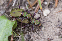 Field Tiger Beetle - mating Stock Photos