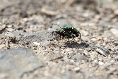 Field Tiger Beetle - mating - macro Royalty Free Stock Image