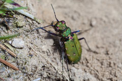 Field Tiger Beetle sunbathing Royalty Free Stock Images