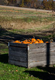 From field to market-pumpkins. A wood crate of pumpkins sits ready to be carried up to the selling area at a local michigan farm. in the distance, you can see Stock Images