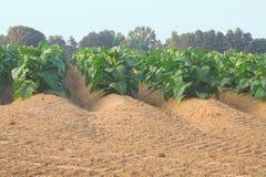 field tobacco Royaltyfri Foto
