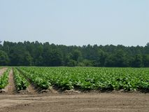 Field of tobacco Stock Image