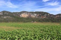 Field of tobacco plantation in cuba Stock Photos
