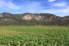 Field of tobacco plantation in vinales, cuba Royalty Free Stock Photo