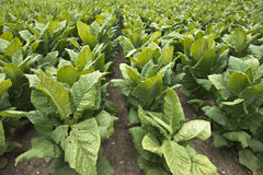 Field of Tobacco Plants in Farm Field, Cash Crop Stock Images
