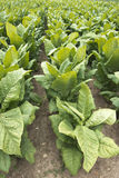 Field of Tobacco Plants in Farm Field, Cash Crop Stock Image