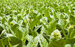 A field of Tobacco plants in flower Royalty Free Stock Images