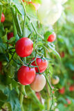 Field tomato and sunshine Royalty Free Stock Photography