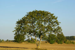 Field tree Royalty Free Stock Photo