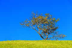Field,tree and blue sky Royalty Free Stock Photography