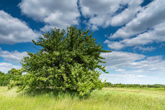 Field, tree and blue sky Stock Photography