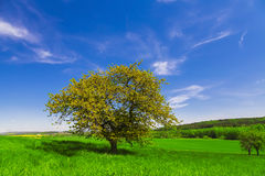 Field tree and blue sky Stock Image