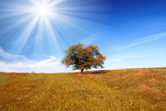 Field,tree,sun and blue sky. Tree on meadow and sunny blue sky Stock Image