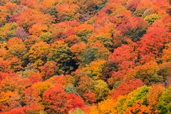 Field of trees from above during fall foliage. Colorful field of trees on the side of a mountain during fall foliage in Stowe Vermont, USA Royalty Free Stock Photography
