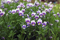 Field tricolor violet Royalty Free Stock Image