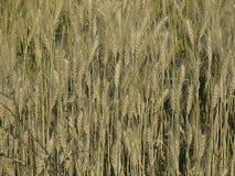 Field of Triticum aestivum L. Wheat crop Stock Photo