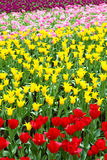 Field of tulip Royalty Free Stock Images