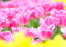 Field of tulip Royalty Free Stock Image