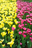 Field of tulip Stock Image