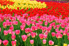 The field of tulip Stock Photography