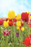 Field of Tulip Flowers Against Blue Sky Stock Photos