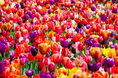 Field of tulip flowers Royalty Free Stock Photos