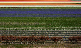 Field of tulip flowers Royalty Free Stock Images