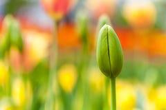 Field of orange tulip Stock Image