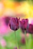 Field of purple tulip Stock Photos